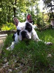 Guismo, chien Bouledogue français