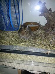 Guismo, rongeur Octodon