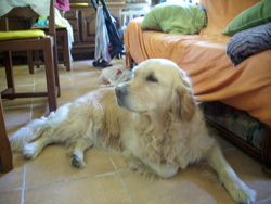 Guismo, chien Golden Retriever
