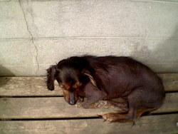 Guismo, chien Chien nu du Pérou