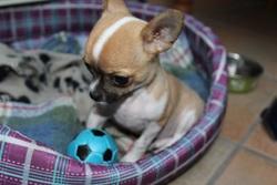 Guismo, chien Chihuahua