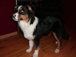 Guizmo, chien Berger australien
