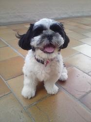 Guizmo, chien Shih Tzu