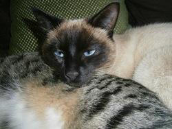 Gizmo, chat Siamois
