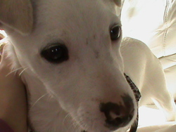 Guizmo, chien Jack Russell Terrier