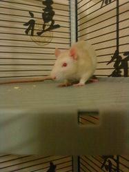Guizmo, rongeur Rat