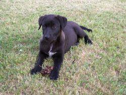 Guizmo, chien Labrador Retriever