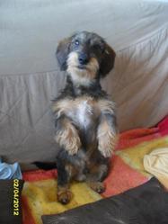 Guizmo, chien Teckel