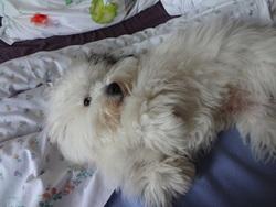 Guizmo, chien Coton de Tuléar
