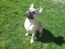 Guizmo, chien Bouledogue français
