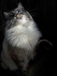 Guizmo, chat Ragdoll