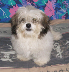 Guizmo, chien Lhassa Apso