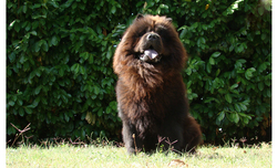 Guizmo, chien Chow-Chow