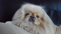 Guismo, chien Pékinois