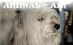 Guizmo, chien Berger de Brie