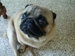 Guizmo, chien Carlin