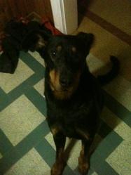 Guizmo, chien Beauceron