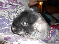Guizmo, rongeur Chinchilla