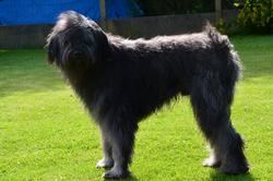 Guizmo, chien Bouvier des Flandres