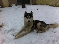 Guizmo, chien Husky sibérien