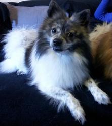 Guizmo, chien Spitz allemand