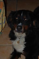 Guizmo, chien Bouvier bernois
