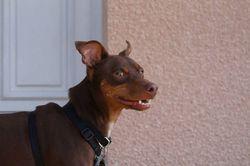 Guizmo, chien Lévrier espagnol