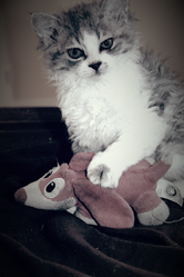 Guizmo , chat Selkirk Rex