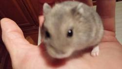 Gizmo, rongeur Hamster