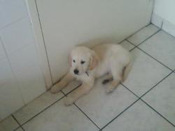 Guizmo, chien Golden Retriever