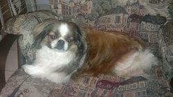 Guizmo, chien Épagneul japonais