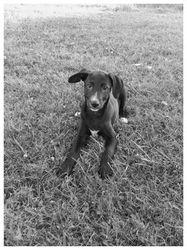 Guizmo, chien Dalmatien