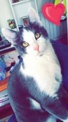Guizmo, chat Européen