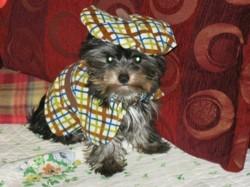 Guizmo, chien Yorkshire Terrier