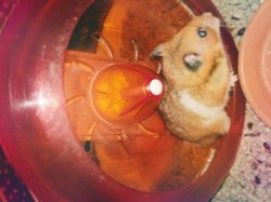 Guizmo, rongeur Hamster