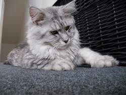 Guizmo, chat Maine Coon