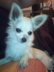 Guizmo, chien Chihuahua