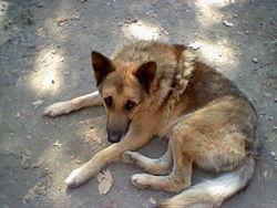 Guizou, chien Berger allemand