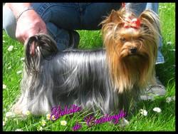 Gulalie, chien Yorkshire Terrier