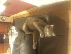 Gulli, chat Chartreux