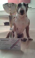 Gulli, chien Bull Terrier