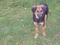 Gullie, chien Berger allemand