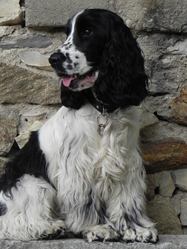 Gulliver, chien Cocker anglais
