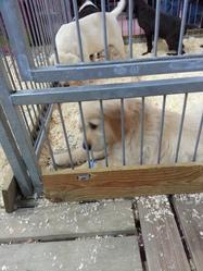 Gulliver, chien