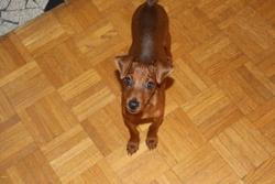 Gulliver, chien Pinscher