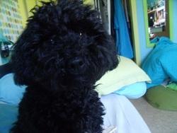 Gully, chien Caniche