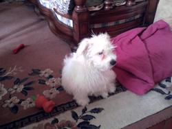 Guly, chien Coton de Tuléar