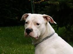 Gum, chien Dogue argentin
