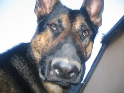 Gump, chien Berger allemand
