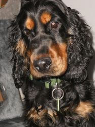 Gump, chien Cocker anglais